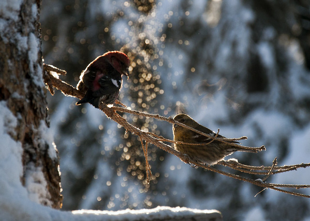 White-winged Crossbill Pair