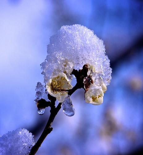 snowy flower