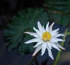 Three things cannot be long hidden: the sun, the moon, and the truth ~~ Buddha (alvinclsmy) Tags: sun white flower waterlily malaysia selangor sekinchan nikond80 alvinclsmy