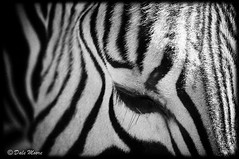 Zebra (Dale Moore Photography) Tags: animals zoo texas wildlife zebra captive glenrose fossilrim grantszebra equusburchelli