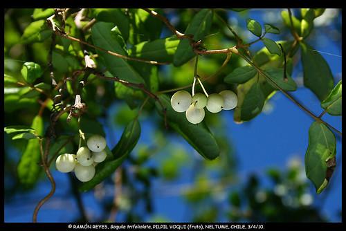 Frutos maduros del voqui pil-pil (<i>Boquila trifoliolata</i>), creciendo en Neltume, Región de la Araucanía.