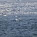 White swans in Lake Erie