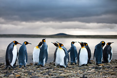 King Penguins (Burrard-Lucas Wildlife Photography) Tags: penguins falklands falklandislands kingpenguins viaflickrqcom