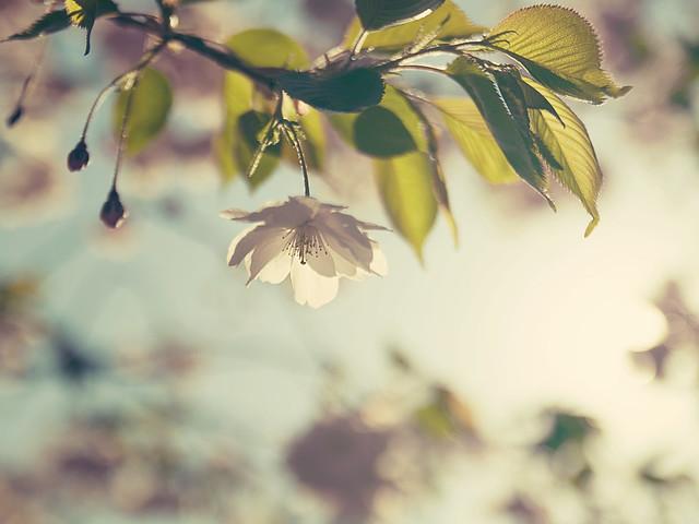 Spring Sun - Cherry Flower
