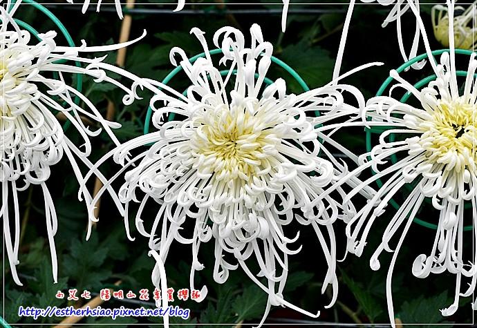 18 大立菊