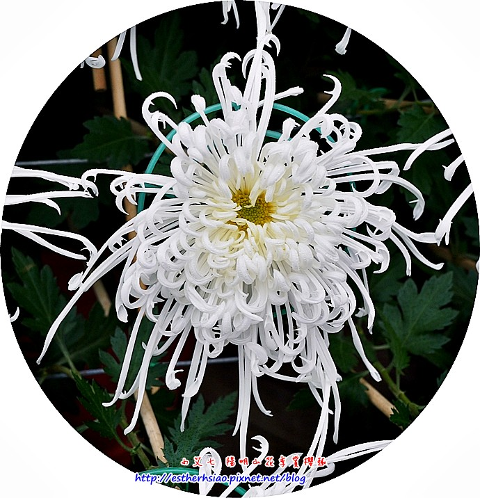 19 大立菊