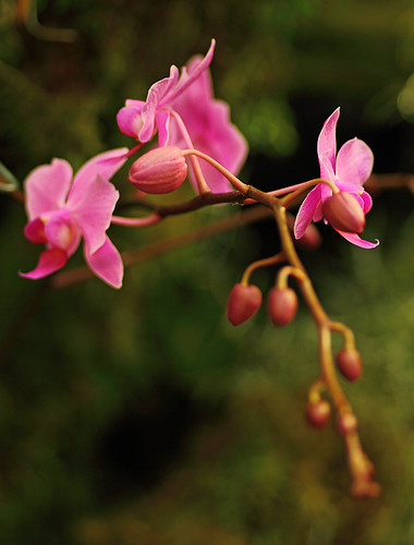pinkbuds