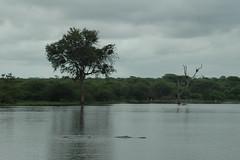 Lake in Kruger (Tashana Leigh) Tags: flowers trees summer birds animals southafrica wildlife lizards hippos joburg kruger boksburg tashana