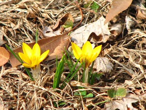 crocus in the back yard