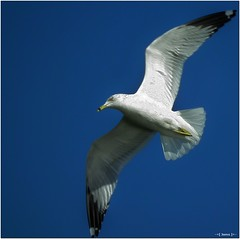 In Flight 3 - Freedom (-=[Joms]=-) Tags: bird inflight wildlife seagull bif audubon hs10 hs11 pnsers
