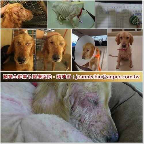 「支援助認養」竹北從新屋救出面目全非的黃金獵犬Bobee(保庇)小姐~疑似子宮蓄膿~需要醫療資源助認養,謝謝您~20110224