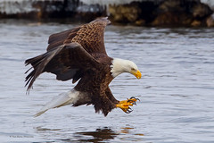 Seconds Away (Todd Ryburn) Tags: birds canon eagle baldeagle iowa raptor birdsinflight eagles raptors bif baldeagles 2011 geocity camera:make=canon exif:make=canon 800mmf56 canon1dmarkiv exif:iso_speed=640 lockdam14 geostate geocountrys exif:focal_length=800mm camera:model=canoneos1dmarkiv exif:model=canoneos1dmarkiv exif:aperture=80 exif:lens=ef800mmf56lisusm