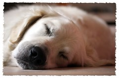 Completely at rest (Guido Havelaar) Tags: dog chien cute dogs cane goldenretriever puppy hound perro hund pup cao grcn caneimmagini fotosdoco fotosdelperro