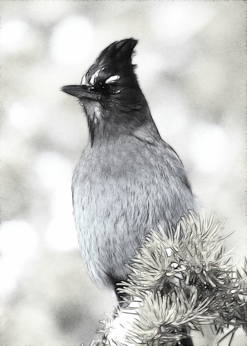 8x10 Steller's Jay Bryce Canyon Fract IMG_0774