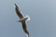 110227_119__MG_7305 (oda.shinsuke) Tags: bird