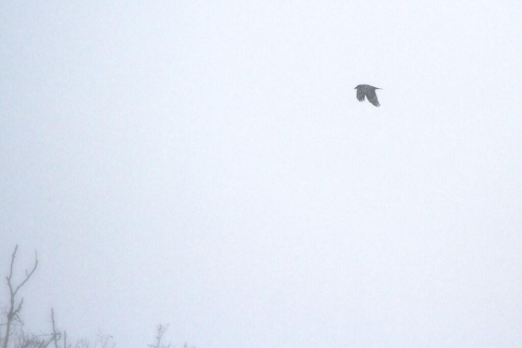 Snowy raven