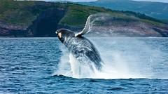 Breaching Whale (Newfoundland and Labrador Tourism) Tags: tourism nature newfoundland labrador whale coastline avalon newfoundlandandlabrador newfoundlandandlabradortourism