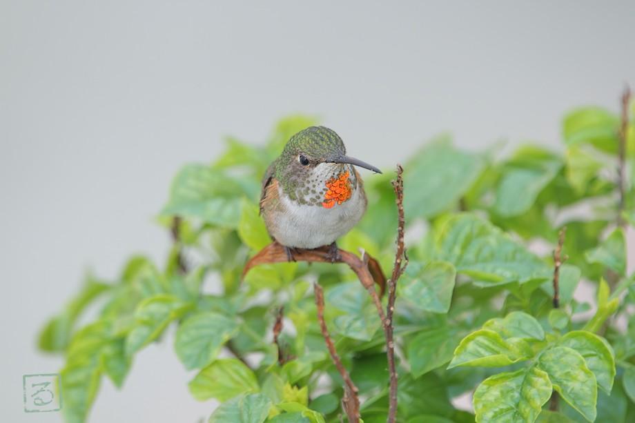 Allen's Hummingbird 022811-1