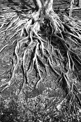 Snatching Roots (U Kersting) Tags: bw germany roots nrw dsseldorf beech grafenberg nikond300s