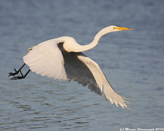 Egret takeoff (v4vodka) Tags: white bird animal flying birding flight feather longisland egret birdwatching greategret ardeaalba czapla sunkenmeadowpark flyingegret czaplabiala