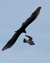 Peregrine and Turkey Vulture Photo