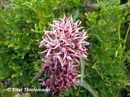 <br><br>Flores de <i>Tweedia stipitata</i> dispuestas en umbela, captadas en su hábitat de Guanaqueros, Región de Coquimbo.