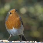 Robin ... again