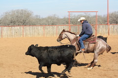 Cow Work! (tanyerhide) Tags: ranch horses tree home loss training texas tank forsale realestate cattle skin farm tan stretch mothers marks moms hide land lose fitness weight saddle crates loose reiner steers yer countryhome tomdavis wieght p90x tracidavis tntweatherford