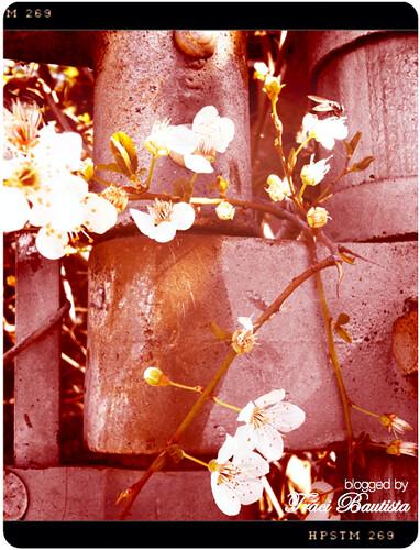 photo of sakura