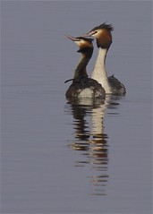 Great Crested Grebes (Danny Gibson) Tags: bird birds dance olympus mating fowl waterfowl avian grebe e5 greatcrestedgrebe rspb grebes outddors sigma50500mm dgpixorguk