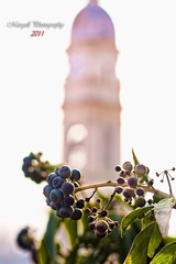The berries and bell tower - Caraglio - Cuneo - Carl Zeiss Jena DDR 50mm f2,8 Tessar M42 (Margall photography) Tags: italy tower nature leaves zeiss canon photography 50mm leaf italia berries dof bell bokeh natura jena campanile piemonte carl m42 marco cuneo bacche f28 30d sfocato galletto margall caraglio
