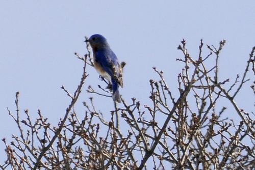 March bluebird
