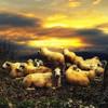 la revolución pendiente (o el silencio de los corderos) (jesuscm) Tags: sunset sky clouds atardecer cielo revolution nubes lambs revolución sheeps ff ovejas corderos jesuscm selectbestexcellence magicunicornmasterpiece sbfmasterpiece