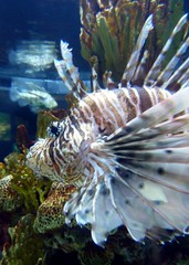 Lionfish! (Kyree) Tags: underwater lionfish baltimoreaquarium deadly