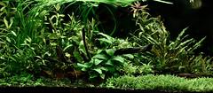 Aquaone 1: new plants settled in.. (KittyKat3756) Tags: plant aquarium freshwater aquaria planted 980 aquaone aquastyle