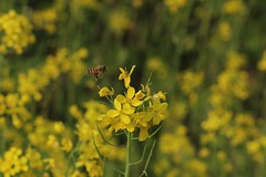 (ecojohn) Tags: winter flower yellow bee ef100mmmacrof28 canoneos60d