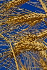 Grano - 0074 (Roberto Bertolle) Tags: italy italia wheat harvest roberto umbria grano terni mietitura bertolle robertolle robertobertolle