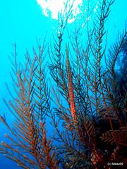 Mimicry (_takau99) Tags: ocean trip travel sea vacation holiday fish uw water topv111 pen indonesia underwater diving olympus september tropical scubadiving komodo 2010 takau99 penlite epl1