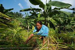 A woman working in a Jhum field (mixed cropping) in Assam (Alex Treadway) Tags: food woman plants india green nature field grass lady female standing outdoors photography ginger adult reaching indian traditional farming working harvest grow culture bananas crop plantation cutting land labour daytime produce growing farmer agriculture yield turmeric eastern northeast bushes hardwork stretching naturalworld collecting weeding oneperson clearing indigenous frontview harvesting gather cultivate reaping ruralscene colourimage tropicalclimate 5060years 4050years mixedcrops assamasia jhumfield