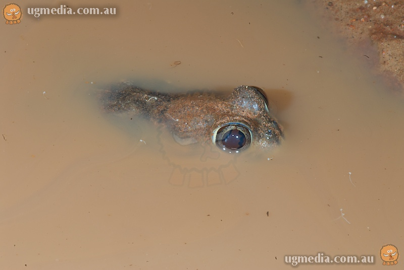 Trilling frog (Neobatrachus centralis)