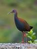 Slaty-breasted Wood-rail (Aramides saracura) - Explore'd (PeterQQ2009) Tags: brazil birds aramidessaracura
