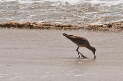 Day at the beach (71/365) (LifeSupercharger) Tags: ocean bird beach birds animal animals project pacific wildlife huntington 365 sandpiper huntingtonbeach day71 project365 3652011