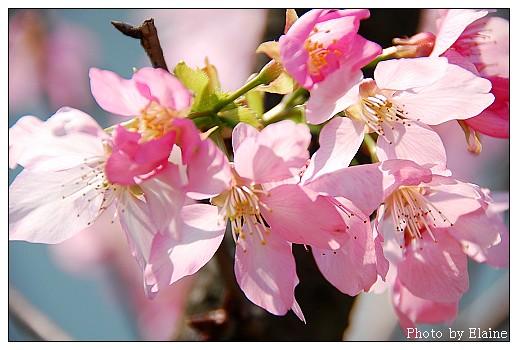 堤防櫻花4