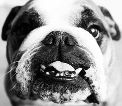 Portrait of a Dog (Oh beautiful world.) Tags: portrait blackandwhite bw dog pets cute animals bulldog englishbulldog ohbeautifulworld treesje hannekevollbehr