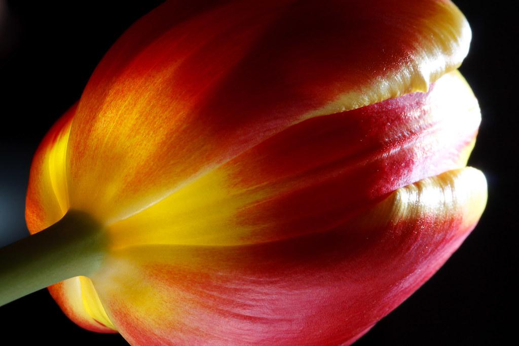 Tulip Portrait #2