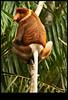 proboscis monkey _ mono narigudo _ Nasalis larvatus (www.infografiagijon.es) Tags: canon monkey mono asturias sarawak malaysia borneo gijon kuching xixon bako markii malasia asturies infografia astur proboscismonkey malasya eos5d nasalislarvatus mononarigudo hernancad wwwinfografiagijones