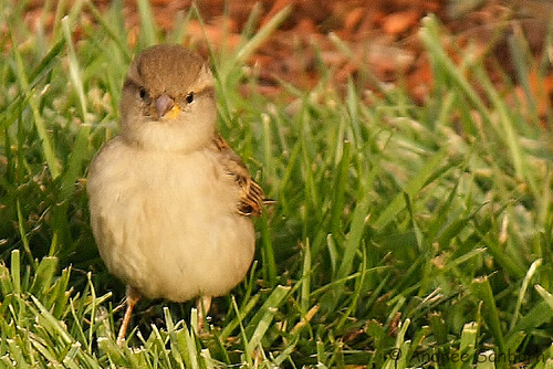 Connecticut sparrows  -15.jpg