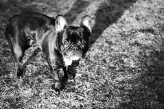 03-17-11 (508) Good Morning! (Lainey1) Tags: morning bw dog sun morninglight stand intense nikon surreal canine bulldog frenchie frenchbulldog 365 ozzy weirdlighting morningsun 508 d90 alienskin nikond90 zendog exposure3 031711 508oz ozzythefrenchie