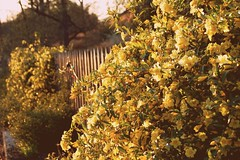 The jasmine is in full bloom (Bhamgal) Tags: wood flowers fence beads spring birmingham jasmine alabama neighborhood blooming carolinajasmine fencefriday