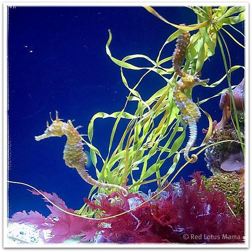 Sea horse @AquariumPacific